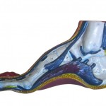 cutaway sideview of a foot with a high arch and instep